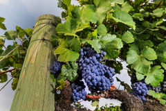Bündel Weinreben, die im Weinberg wachsen Lizenzfreie Stockbilder