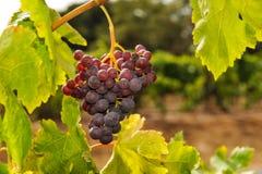 Bündel Weinreben, die im Weinberg wachsen Lizenzfreie Stockfotografie