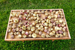 Bündel Zwiebeln, die draußen trocknen Lizenzfreies Stockbild