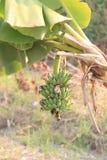 Bündeln Sie Frucht von den Bananen nicht schon reif auf Baum Stockfotos