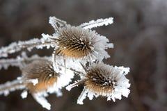 Büro in der wild wachsenden Pflanze des Frosts A im Schnee Lizenzfreie Stockfotos