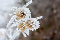 Büro in der wild wachsenden Pflanze des Frosts A im Schnee Stockfoto