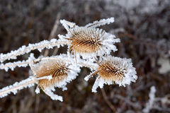 Büro in der wild wachsenden Pflanze des Frosts A im Schnee Stockfotos