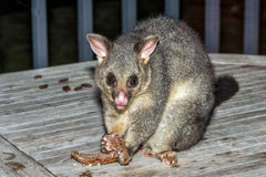 Bürste angebundener Opossumwaschbär in der Känguru-Insel Lizenzfreie Stockfotografie
