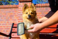 Bürsten Sie das Pflegen auf einem die Shetlandinseln-Schäferhund lizenzfreie stockfotos