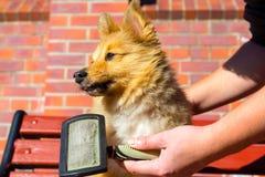 Bürsten Sie das Pflegen auf einem die Shetlandinseln-Schäferhund stockbilder