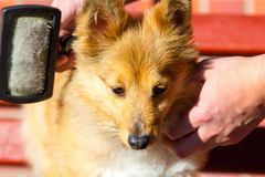 Bürsten Sie das Pflegen auf einem die Shetlandinseln-Schäferhund lizenzfreie stockfotografie