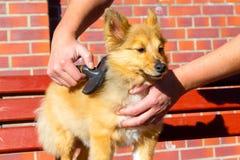 Bürsten Sie das Pflegen auf einem die Shetlandinseln-Schäferhund lizenzfreies stockbild
