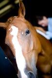 Bürstendes Pferd Stockfotos