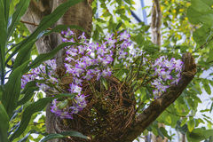 Bürstenorchideen der Orchidee Aerides, des Schachtelhalms und des Fuchses Stockfotos