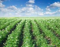 Büsche der Kartoffel Lizenzfreie Stockfotografie