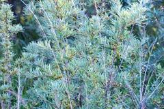 Büsche des Sanddorns, auf denen es eine Beere nicht schon reif gibt stockfotografie