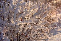 Büsche einer Berberitzenbeere mit Beeren in einem Schnee Stockbild