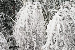Büsche im Schnee Lizenzfreies Stockfoto