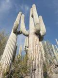 Büsche und großer Saguaroskaktus Lizenzfreie Stockfotografie