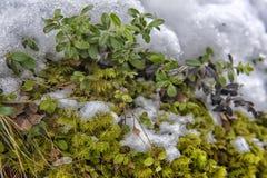 Büsche und Moos unter dem Schnee Stockfoto
