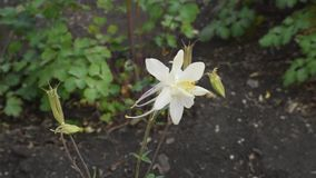 Büsche von Aquilegia-Blumen im Licht stock video