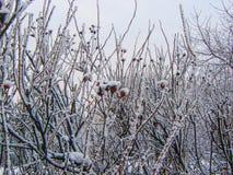 Büsche von dogrose mit Beeren im Schnee Stockfotos