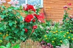 Büsche von roten und rosa Rosen nahe dem Haus draußen Landschaftsgestaltung des Standorts grünen lizenzfreie stockfotos