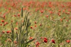Büschel der Ohren des Kornes, auf einem unscharfen Hintergrundfeld der Mohnblumen Lizenzfreie Stockfotografie