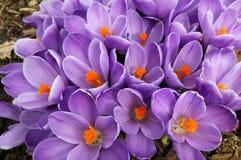 Büschel der purpurroten Krokusblumen Lizenzfreie Stockfotos