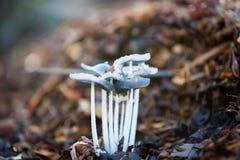 Büschel von empfindlichen wilden Pilzen Lizenzfreie Stockfotografie