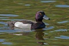 Büscheliges Enten-Schwimmen auf dem See Lizenzfreie Stockfotos
