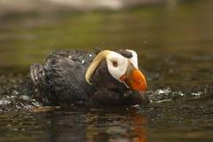 Büschelige Papageientaucher-Schwimmen Lizenzfreie Stockfotografie