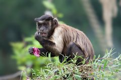 Büscheliger Capuchin Lizenzfreies Stockfoto
