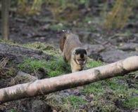Büscheliger Capuchin Lizenzfreie Stockfotografie