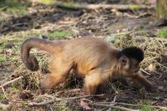 Büscheliger Capuchin Stockfoto