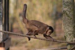 Büscheliger Capuchin Lizenzfreie Stockbilder