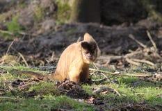 Büscheliger Capuchin Stockbild