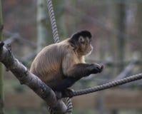 Büscheliger Capuchin Stockbilder