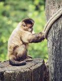 Büscheliger Capuchin (Cebus-apella) sitzend auf dem Baumstumpf, Tier Stockfotos