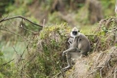 Büscheliger grauer Langur in Nationalpark Bundala, Sri Lanka stockfoto
