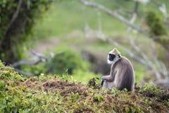 Büscheliger grauer Langur in Nationalpark Bundala, Sri Lanka stockbild