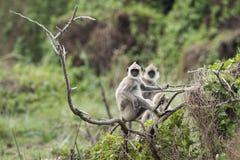 Büscheliger grauer Langur in Nationalpark Bundala, Sri Lanka lizenzfreie stockfotografie