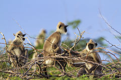 Büscheliger grauer Langur in Nationalpark Bundala, Sri Lanka stockfotos