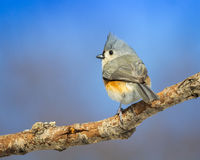 Büscheliger Titmouse Stockfotos