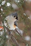 Büscheliger Titmouse im Winter-Schnee Stockfotos