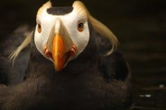 Büscheliges Papageientaucher-Portrait Lizenzfreies Stockfoto