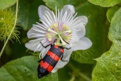 Bąbel ściga zamknięta w górę strzału, z czerni i czerwieni lampasami siedzi na białym ornamentacyjnym kwiacie obraz royalty free