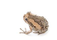bąbel żaba Zdjęcia Royalty Free