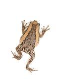 bąbel żaba Obrazy Royalty Free