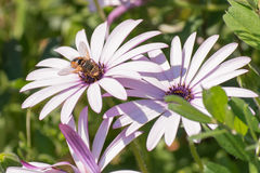 Bąbel pszczoła na białym margarita Zdjęcie Royalty Free