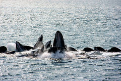 bąbla żywieniowi humpback sieci wieloryby zdjęcia royalty free