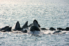 bąbla żywieniowi humpback sieci wieloryby Obrazy Royalty Free