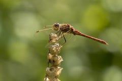 Błądząca wężowa Sympetrum vulgatum samiec Zdjęcia Stock