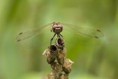 Błądząca wężowa Sympetrum vulgatum samiec Obraz Royalty Free